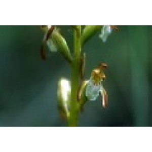 Northern Coral Root