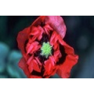 Red-Purple Poppy