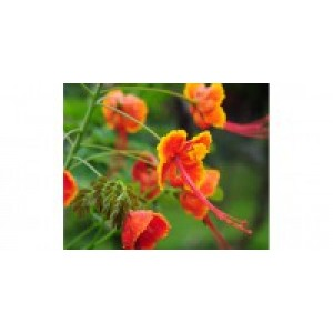 Dwarf Poinciana 7,5 ml