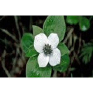 Bunchberry