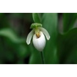Northern Ladies Slipper